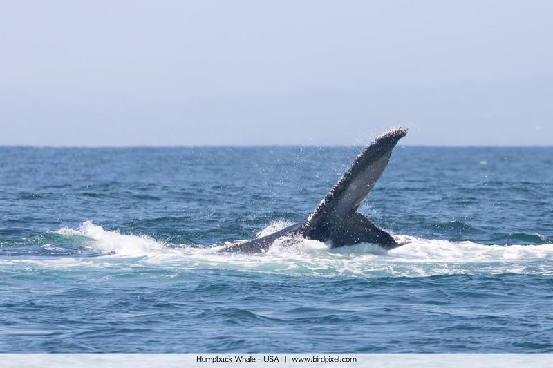 Humpback Whale - USA