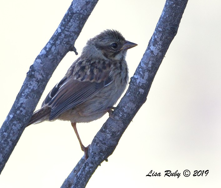 Song Sparrow  - 7/14/2019 - Poway Creek