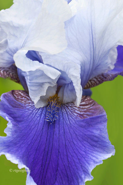 Bearded Iris Shadow Magic