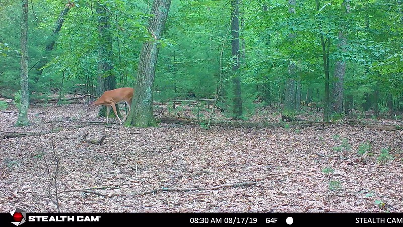 8-16-19 through 9-13-19....does, young bucks including three pointer with velvet hanging