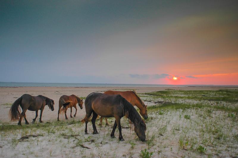Wild Horses Grazing on Beach at Sunset #2