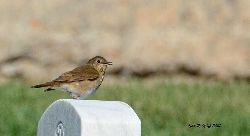 Swainson's Thrush - 5/4/2014 - Fort Rosecrans National Cemetery