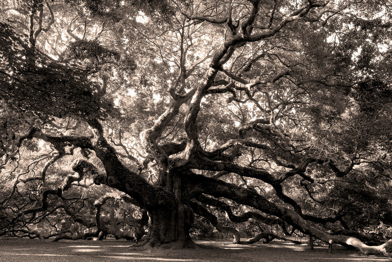 Angel Oak, estimated to be 1400 years old