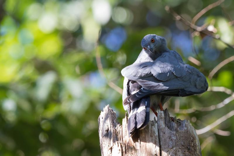 Crane Hawk - Record - Amazon, Ecuador