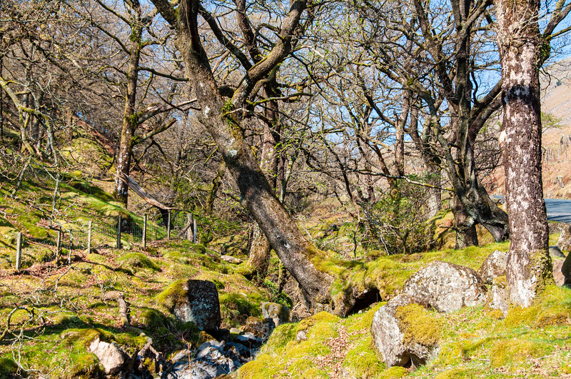 Mossy trees in Borrowdale