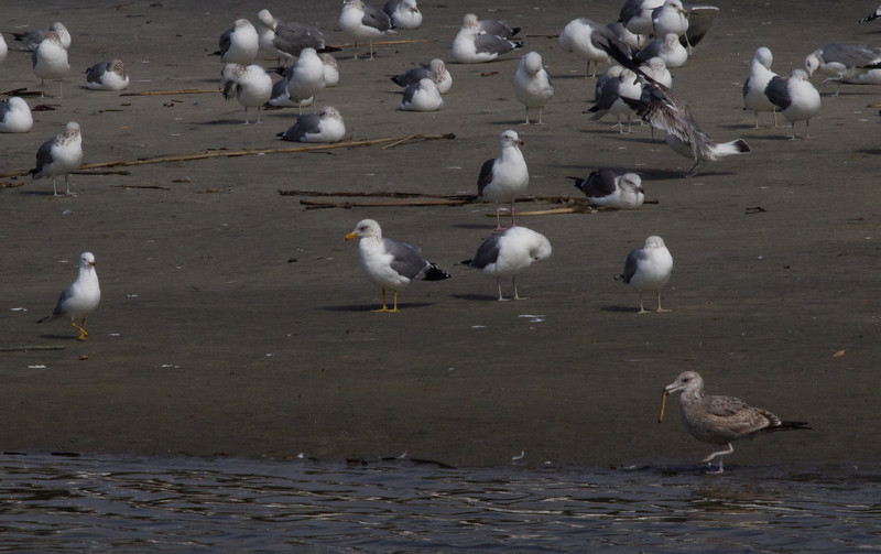California Gull San Luis River Oceanside 2012 02 24 (1 of 1).CR2