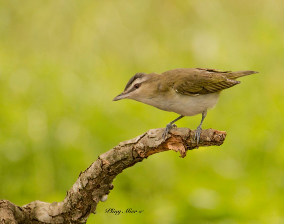 Red-eyed Vireo 5_DWL2904.jpg