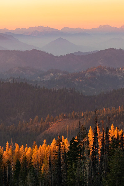 larches glowing with hills.jpg