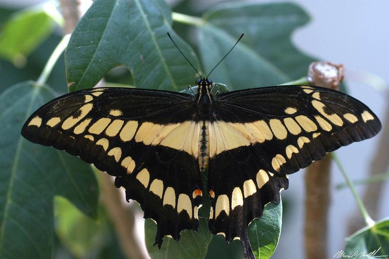 2006 Key West Butterflies DSC_0122.jpg