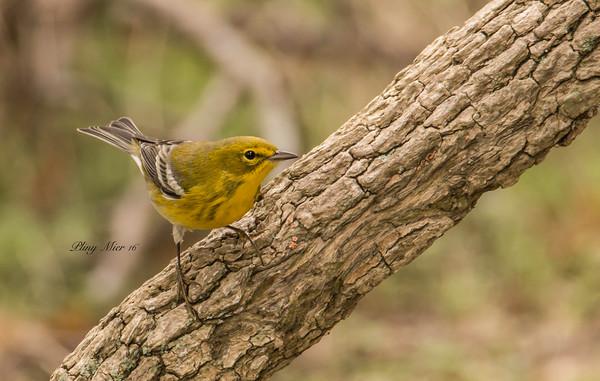 Pine Warbler CB_DWL3096.jpg