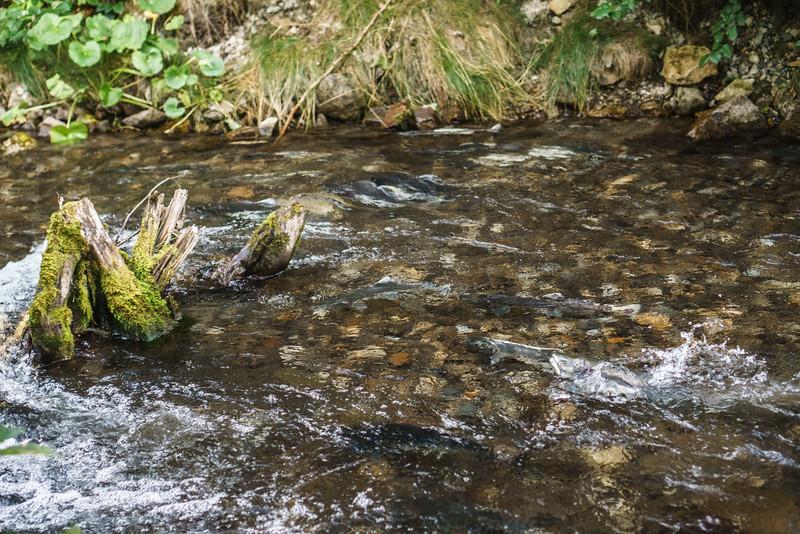 Salmon struggling their way upriver to spawn.