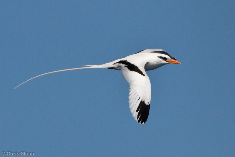 White-tailed Tropicbird third summer at pelagic trip off Hatteras, NC (05-30-2011) - 522.jpg