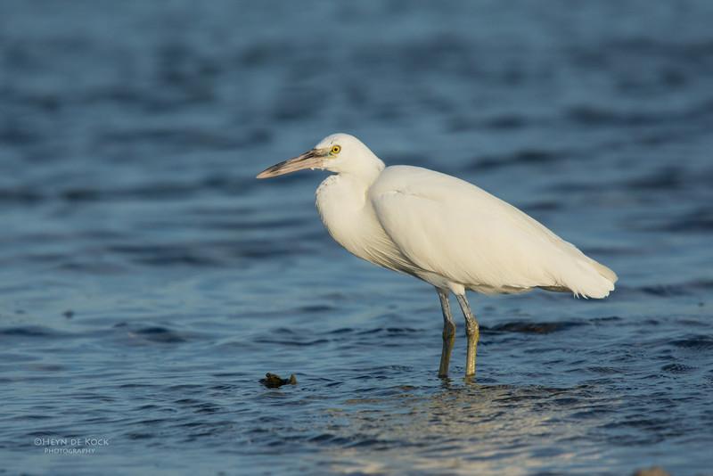 Eastern Reef Egret, Lady Elliot Island, QLD, Dec 2015-7.jpg