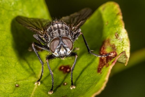 Unidentified flesh flies