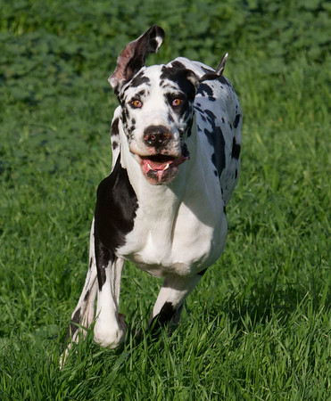 2018 04 03 Stella the Harlequin Great Dane