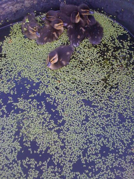 Trail Ducks