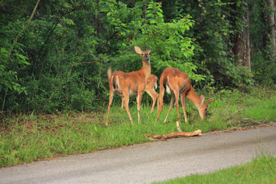 Deer Munchin'  July 29 2010