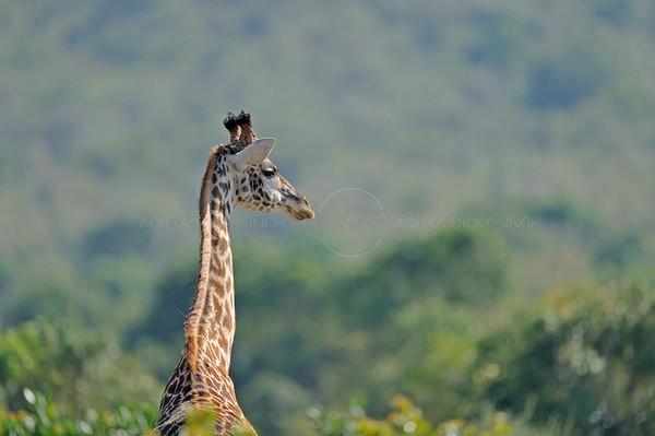 masai giraffe, bagh safari, kenya, masai mara