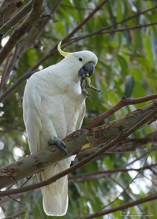 Cacatua galerita - Sulphur-crested Cockatoo