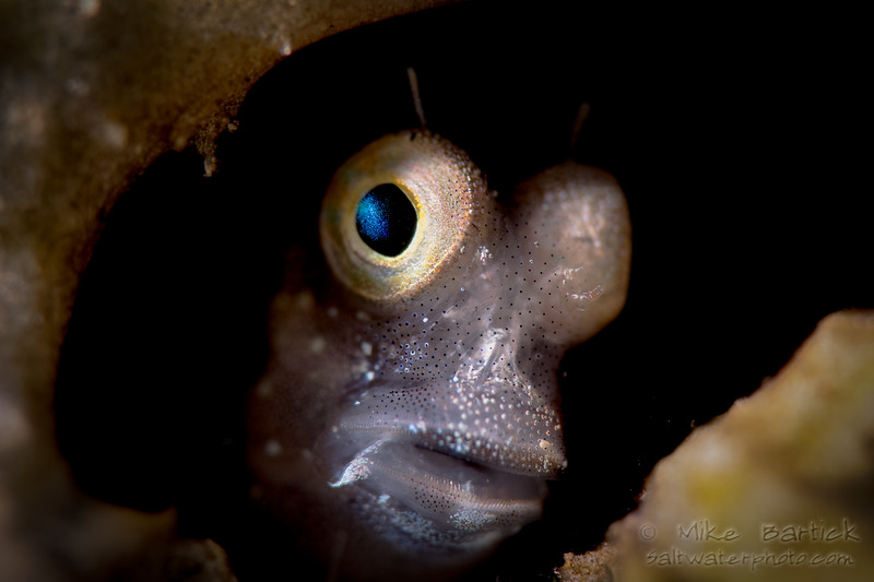 Coral Blenny (1 of 1).jpg