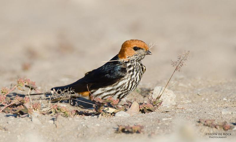 Lesser-Striped Swallow, Shakawe, Botswana, Jul 2011.jpg
