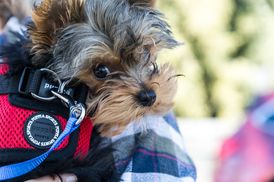 Ali - the Yorkie from Fort Klamath