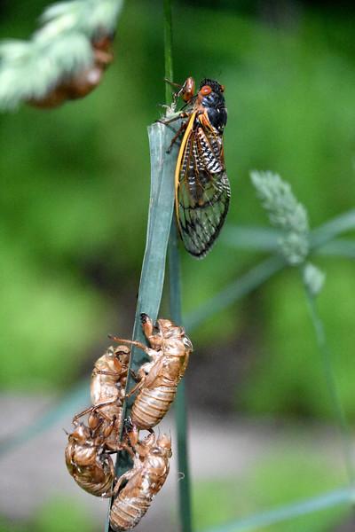 Cicadas-adults-nymphs.jpg