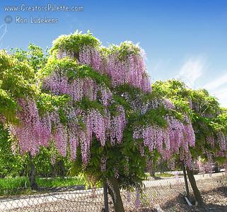Wisteria sinensis x floribunda 'Rosea Beni Fuji' - Pink Wisteria