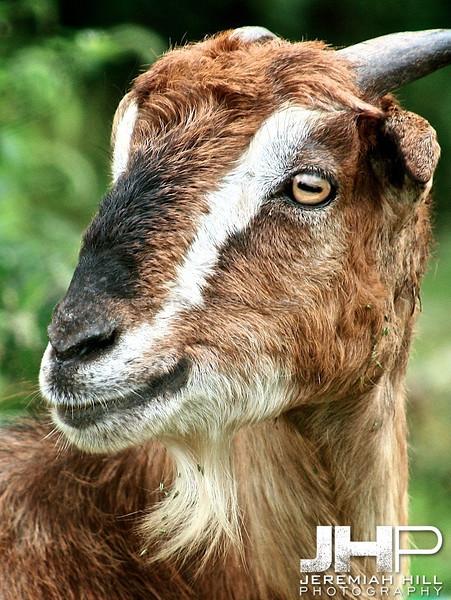 """Mountain Goat #1"", Dharamsala, Himichal Pradesh, 2007 Print IND3913-121"