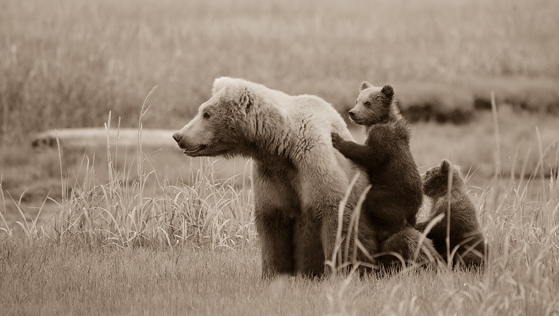 Katmai-Mom-and-cubs.jpg