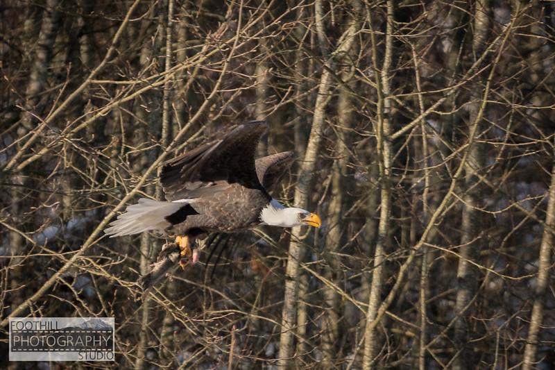 Eagle Sml-7.jpg