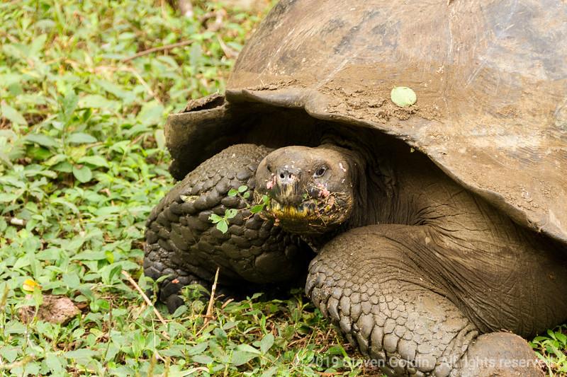 Tortoise having a snack.