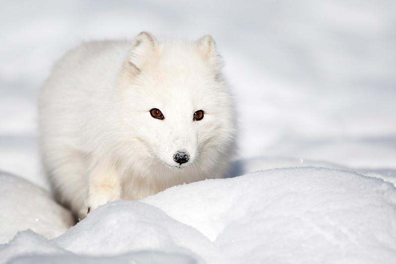 Arctic Fox 2.jpg