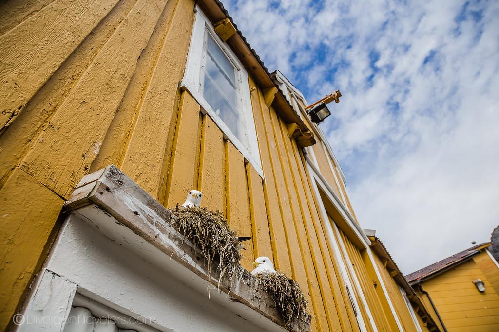 Norway photos - Nusfjord Kittywakes - Lina Stock