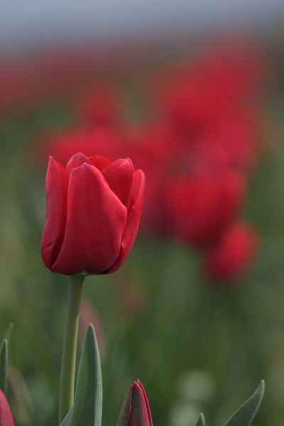 Tulips-2010 23.JPG