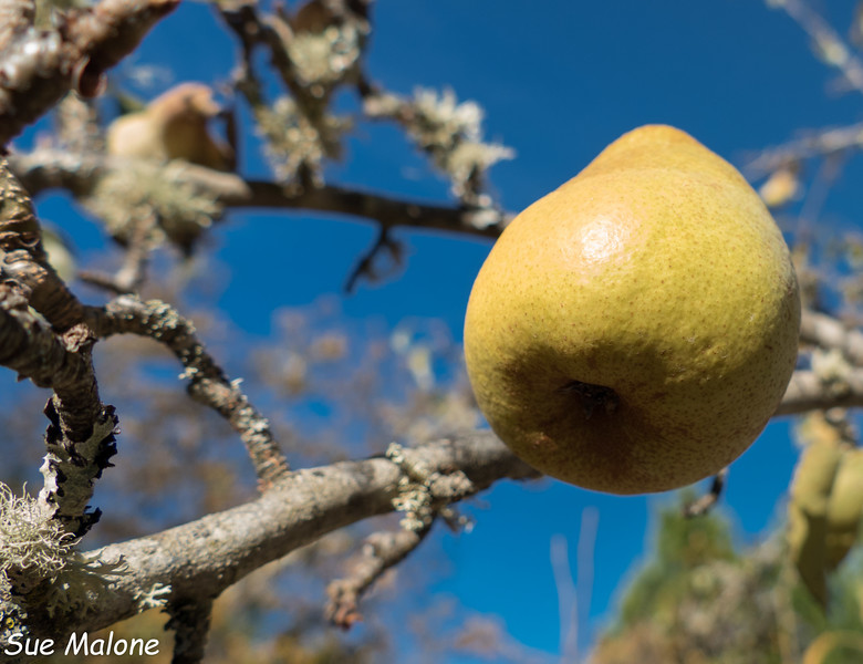 around the property and canning pears-2.jpg