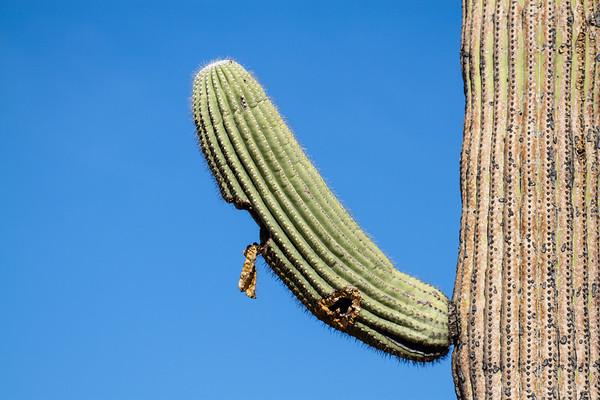 aged saguaro