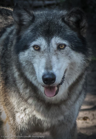 Shy Wolf Sanctuary Naples Florida