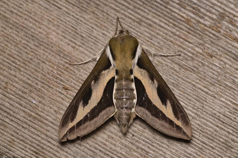 Bedstraw Hawk Moth