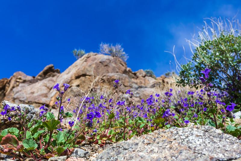 2. Beautiful blue-colored bluebells blooming between badlands of otherwise barren Borrego desert