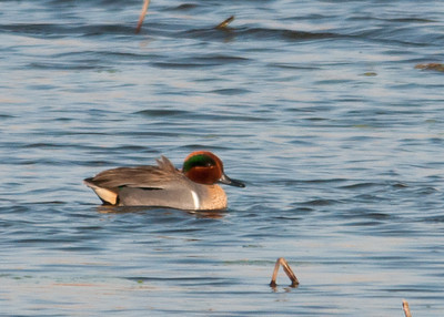 Duck - Green-winged Teal