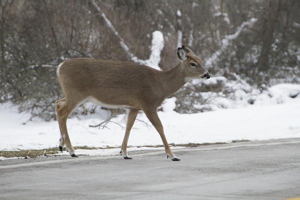 Deer in Mendon Park