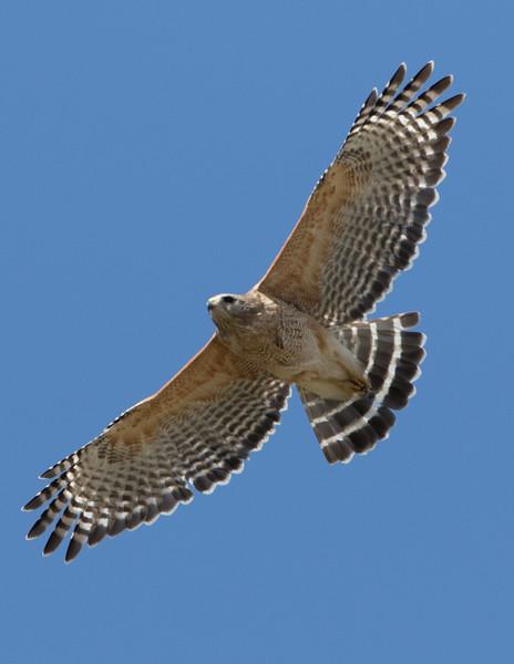 RS Hawk Fly-4335.jpg