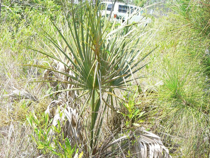 DotMPalmetto(MonkEgg)409 May 20, 2007  P1010409 Monk Skipper host Palmetto w egg Lone Pine Key