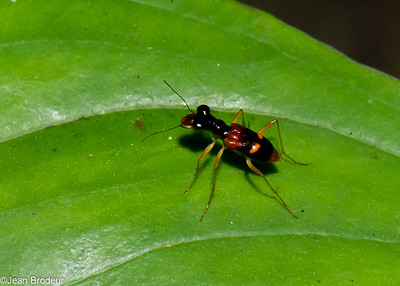 Malaysian Beetles, following - Coleopteres de Malaysie , suite