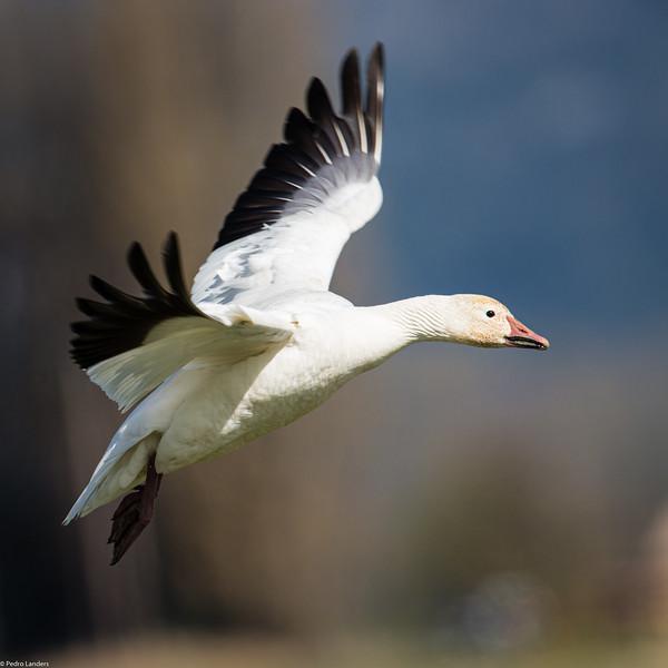 Snow Goose 06.jpg