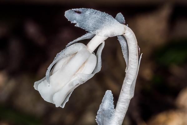Monotropa uniflora - Ghost plant