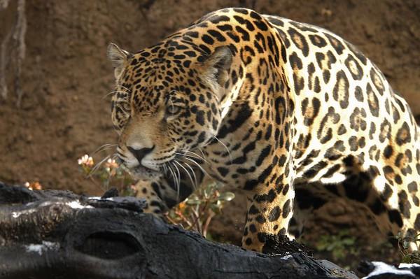 "Felidae  ""Wild Cats"""