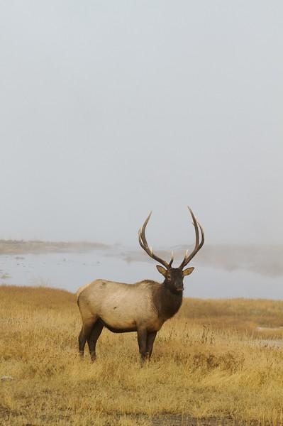 Elk bull Yellowstone WY IMG_0005761.jpg