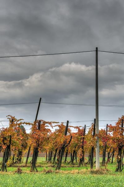 Vineyard - Fellegara, Scandiano, Reggio Emilia, Italy - February 8, 2009